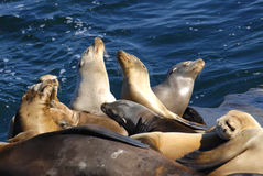 Seals Sunning. Image of a group of seals sunning themselves on La Jolla beach in San Diego stock images