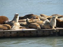 Seals sunning on pier Stock Photos