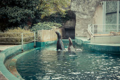 Seals swim and jump into the water at the zoo Royalty Free Stock Photo