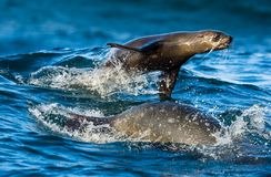 Seals swim and jumping out of water . Jumping Cape fur seal (Arctocephalus pusillus pusillus royalty free stock photos