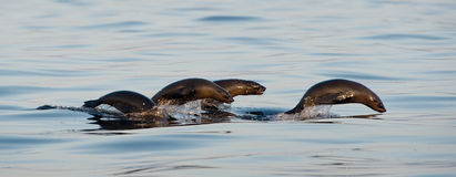 Seals swim and jumping out of water . Stock Photos