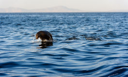 Seals swim and jumping out of water . Royalty Free Stock Images