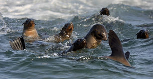 Seals swim and jumping out of water . Cape fur seal (Arctocephalus pusilus). Stock Image