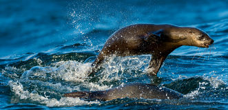 Seals swim and jumping out of water . Jumping Cape fur seal Arc Stock Photos