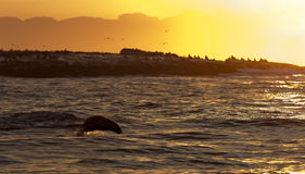 Seals swim and jumping out of water on sunset. Royalty Free Stock Photos