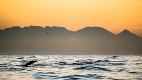 Seals swim and jumping out of water on sunset Royalty Free Stock Images