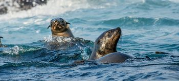 Seals swim in the water . Cape fur seal, stock images