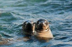 Seals swiming in ocean . Royalty Free Stock Photos