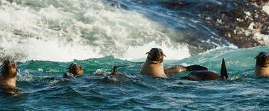 Seals swiming in ocean . Stock Photos