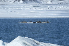 Seals swimming on an ice floe Stock Photography