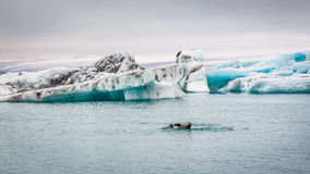 Seals swimming in the iceberg bay, Iceland Royalty Free Stock Photography