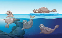 Seals swimming in the ocean Stock Image