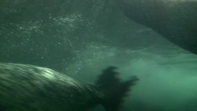 Seals swimming and play in Shanghai aquarium stock video footage