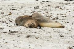 Seals. Two sleeping seals on beach in Australia Stock Photo