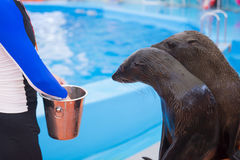 The seals waiting for food after show the end Royalty Free Stock Images