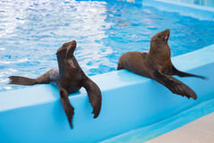 The seals waiting for food after show the end Stock Image