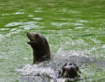 Seals in water Royalty Free Stock Images