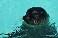 Seals in the water. Antarctica Stock Image
