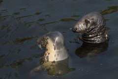 Seals in the water Royalty Free Stock Photography