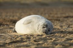 Seals in Winter on the beach, Winterton on Sea, Norfolk, UK in t royalty free stock photo