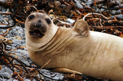 Elephant seal Cambria Royalty Free Stock Image