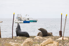 Seals and working boats. Kingscote, Australia - November 17, 2015: Seals relax by the local harbour in Kingscote, the largest town on Kangaroo Island and the Royalty Free Stock Photo