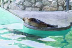 Seals in the zoo Royalty Free Stock Photos