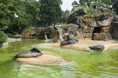 Seals in zoo Royalty Free Stock Photos