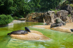 Seals in zoo. Pond with seals in the Berlin Zoo (Zoological garden). It's the oldest garden in Germany with most comprehensive collection of species in the world Stock Images