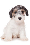 Sealyham Terrier Royalty Free Stock Photos