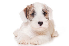 Sealyham Terrier Stock Photos