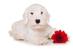 Sealyham Terrier Royalty Free Stock Photo