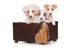 Sealyham Terrier Stock Photo