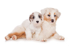 Sealyham Terrier Royalty Free Stock Photo
