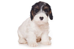 Sealyham Terrier Royalty Free Stock Photography