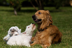 Sealyham Terrier and golden. Retriever Stock Images