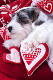 Sealyham Terrier puppy and heart Royalty Free Stock Photos