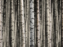 Seamless birch forest Stock Images