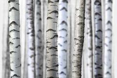 Seamless birch trees Stock Photos