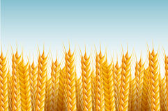 Seamless Field Background. Vector realistic seamless wheat background illustration Stock Photo