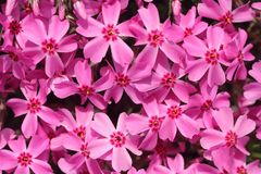 Seamless floral background of pink flowers. In spring, flower wall stock photography
