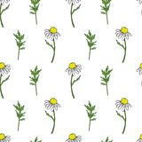 Seamless floral pattern, Chamomile wild field flower isolated on white background, hand drawn daisy sketch vector. Illustration for design package tea, organic Stock Photos