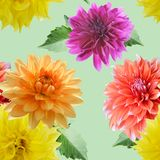 Seamless floral pattern. Seamless  pattern of dahlia flowers on green background Stock Images