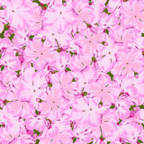 Seamless floral pink phlox background  in realistic hand-drawn style. Royalty Free Stock Images