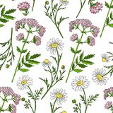 Seamless floral vector pattern, Chamomile wild field flower, Valeriana officinalis  on white background, hand. Drawn daisy doodle illustration for design Royalty Free Stock Photography