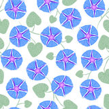 Seamless with flower Ipomoea, morning glory. Vector illustration without transparency Royalty Free Stock Photo