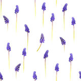 Seamless Grape Hyacinths. Repeatable grape hyacinth flowers, studio photographed and fading from purple to green, into absolute white stock photography