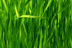 Seamless green grass Stock Images