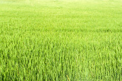 Seamless green rice plant Royalty Free Stock Image