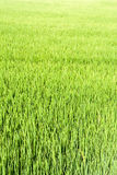 Seamless green rice plant Royalty Free Stock Photography